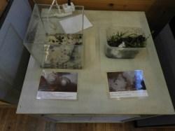 タゴガエルの卵展示