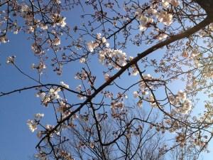 モリコロ桜