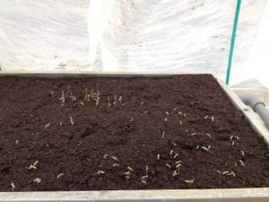 自家採取のトマト種、種まきから一週間後