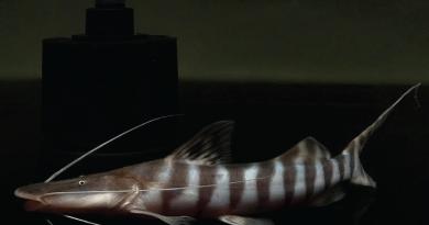 tigrinus catfish ikan zebra