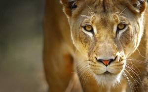 lionpic