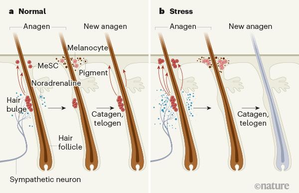 Процесс поседения волос от стресса показали на мышах