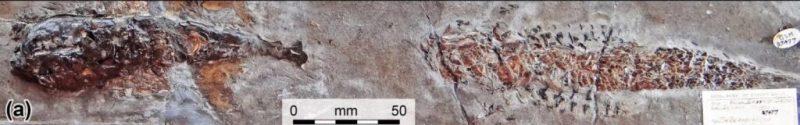 Окаменелость из юрского периода рассказала об охоте моллюска на рыбу, в результате которой никто из них не выжил