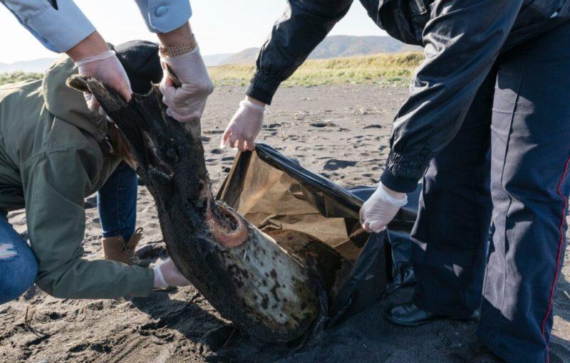 «Тысячи трупов морских животных»: у берегов Камчатки разворачивается экологическая катастрофа