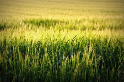 황금빛 밀밭 (출처: 플리커 CC BY-SA Martin Fisch)