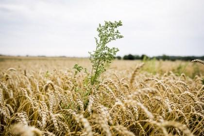 덴마크 농지 10%는 유기농 경작지