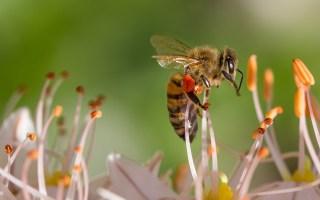 austeja litewska bogini pszczol