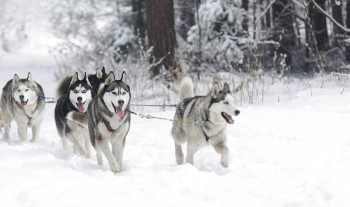 psi zaprzeg 10 zimowych atrakcji turystycznych na Litwie