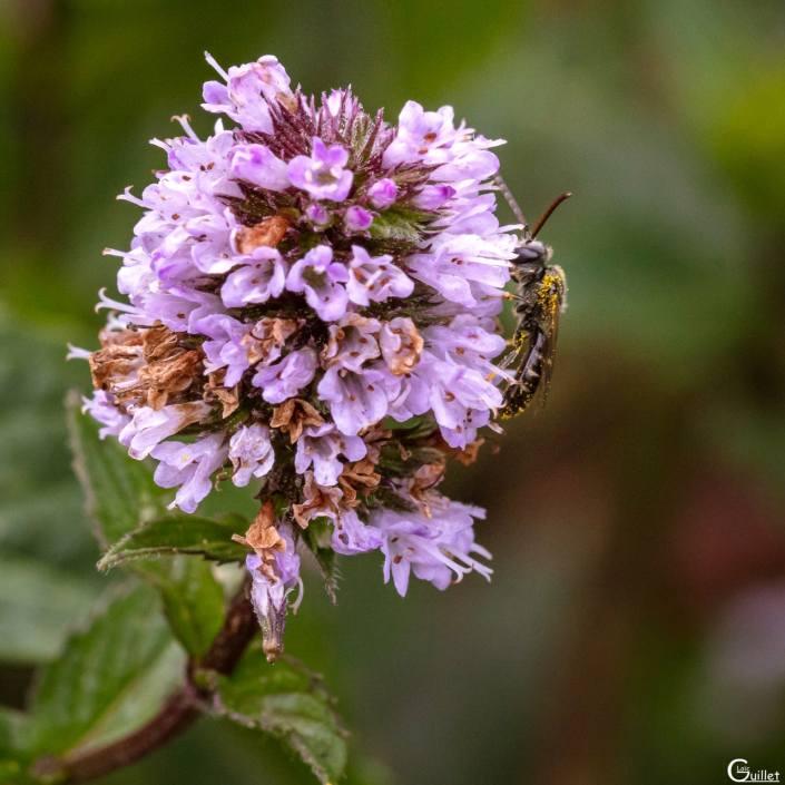 Petite abeille sauvage