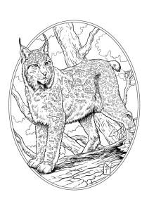 Colorier et partager les Animaux d'Alsace Coloriage roland perret lynx