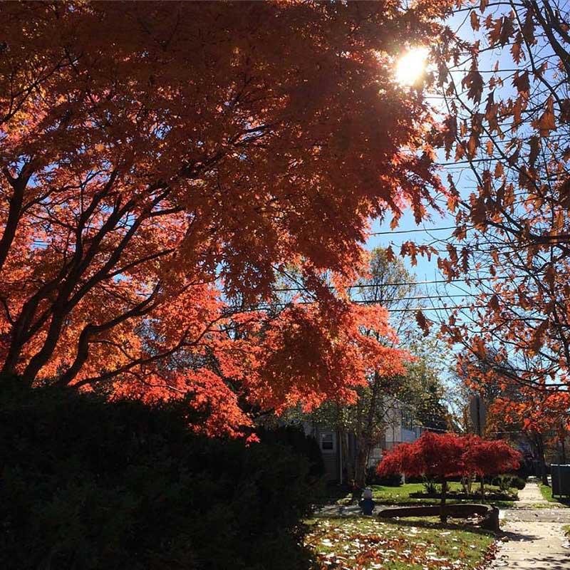 fall trees at home