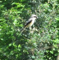 This Long Tailled Shrike flew in to see what was happening
