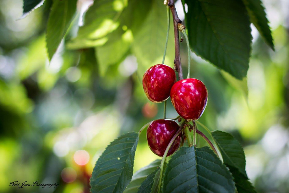 Sun ripened cherries