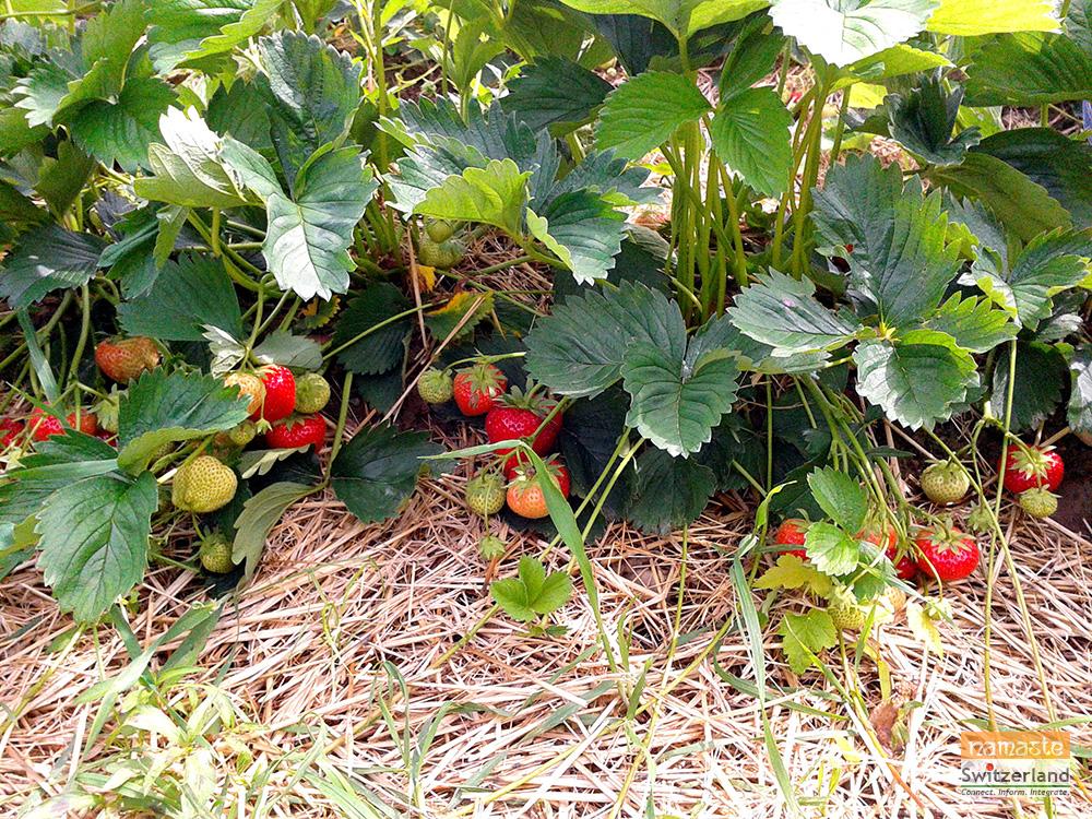 Photo of Strawberry picking 1