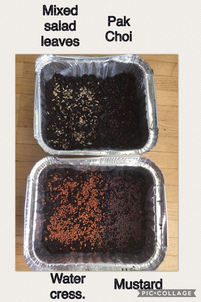 Step 3 - Microgreens