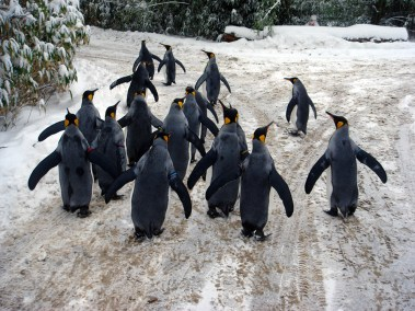 Penguins taking a walk