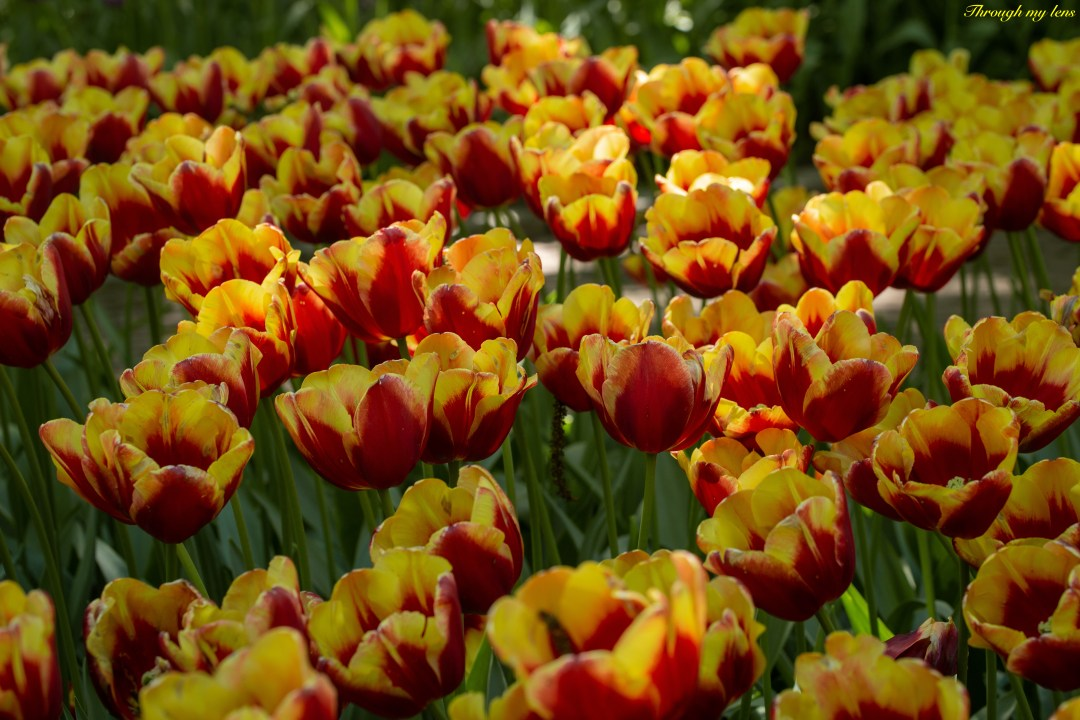 Tulips swaying in the breeze