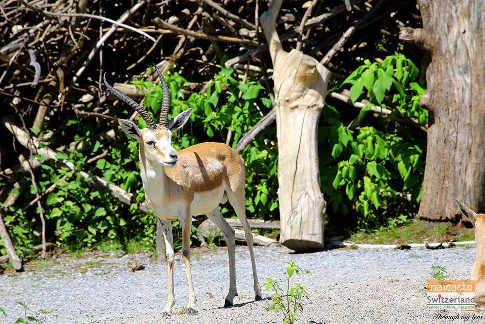 Usually seen in groups - Domestic Deer