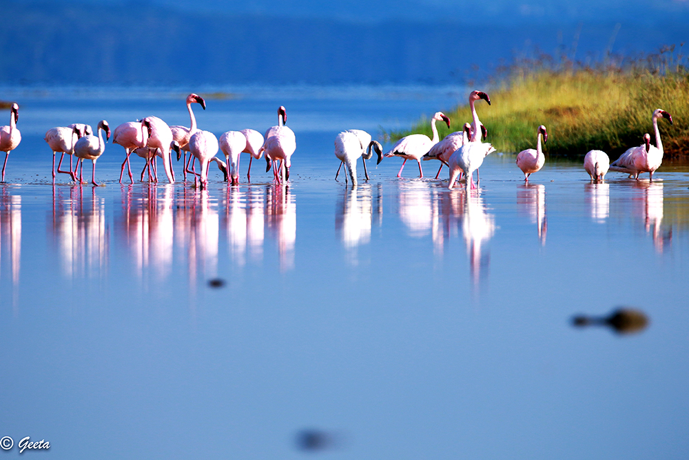 Photo of Split-second flash mob – flamingos strutting in pretty pink