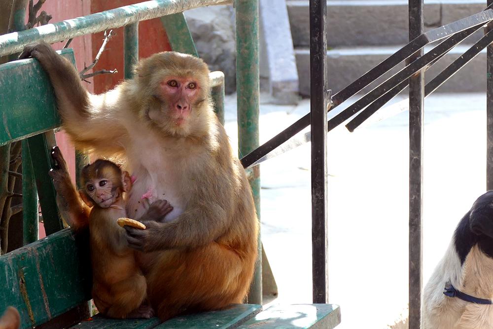 Photo of Monkey with Mother Swayambunath