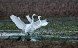 Egrets on Bark River Road - Fort Atkinson, Wisconsin