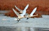 Tundra Swans Take Flight - Alma, Wisconsin