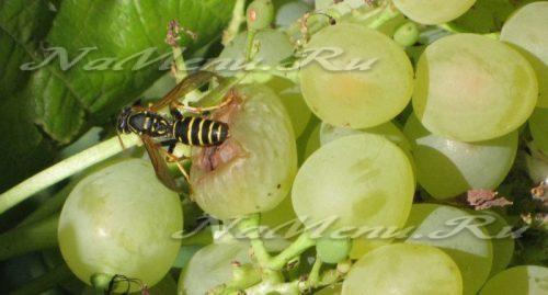 Народные методы лечения винограда. Виноград: болезни листьев, фото и лечение, народные средства