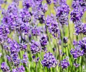 most fragrant lavender plant