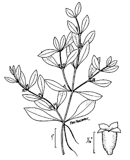 NameThatPlant.net: Ludwigia palustris