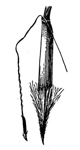 NameThatPlant.net: Piptochaetium avenaceum