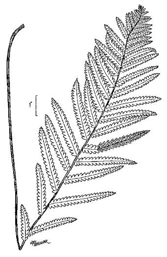 NameThatPlant.net: Anchistea virginica
