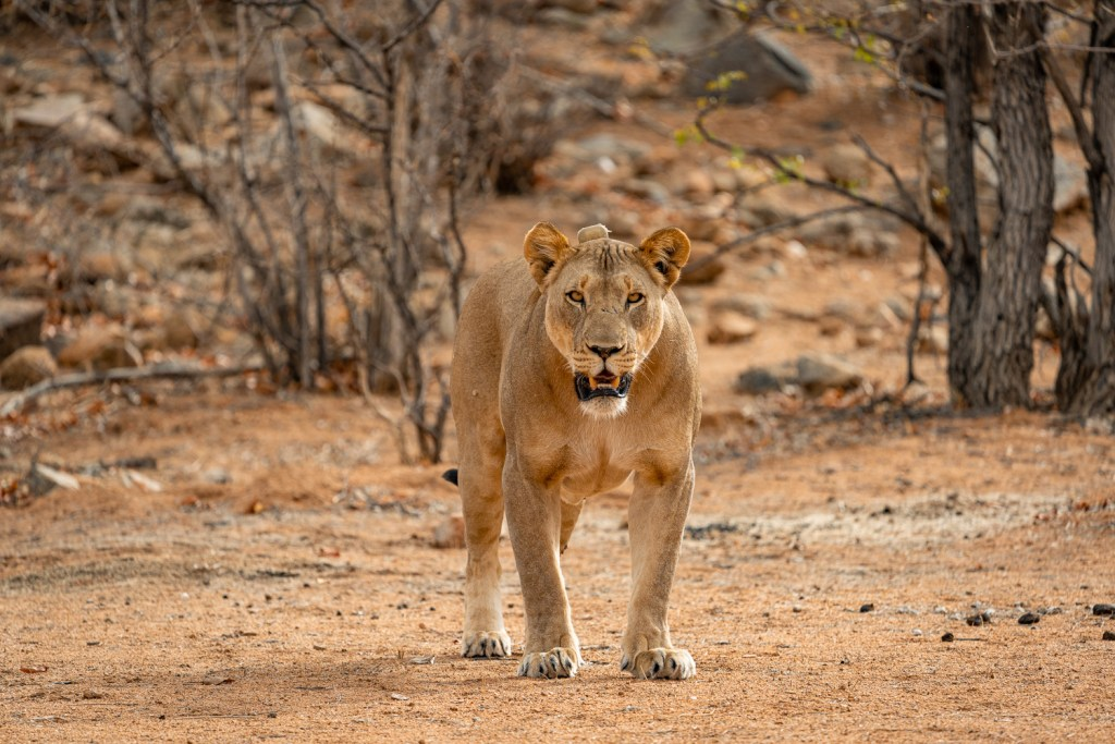 Namibian Lion Trust collared lioness in Hobatere Concession