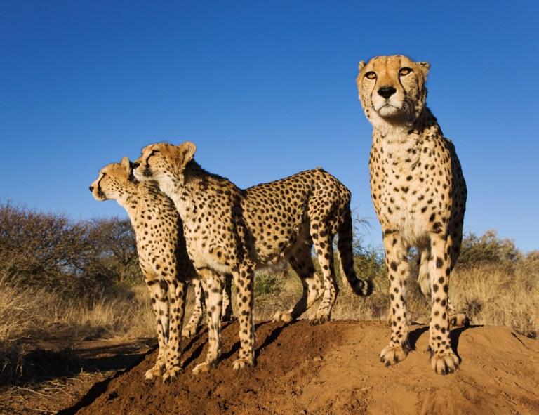 Cheetah-Naankuse.jpg