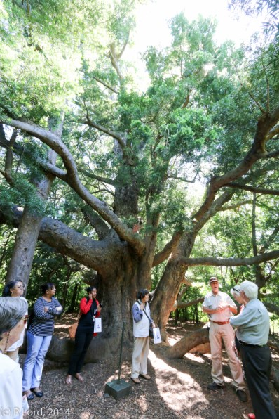 Richard tells us about the ancient Yellowwood Tree, which was planted around 1700