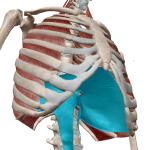 理学療法士が教える、分かりやすい呼吸の筋活動