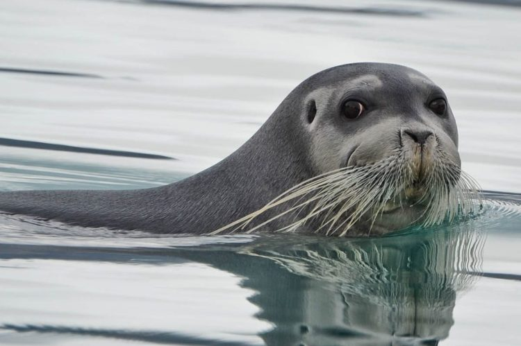 Image result for bearded seal ADFG