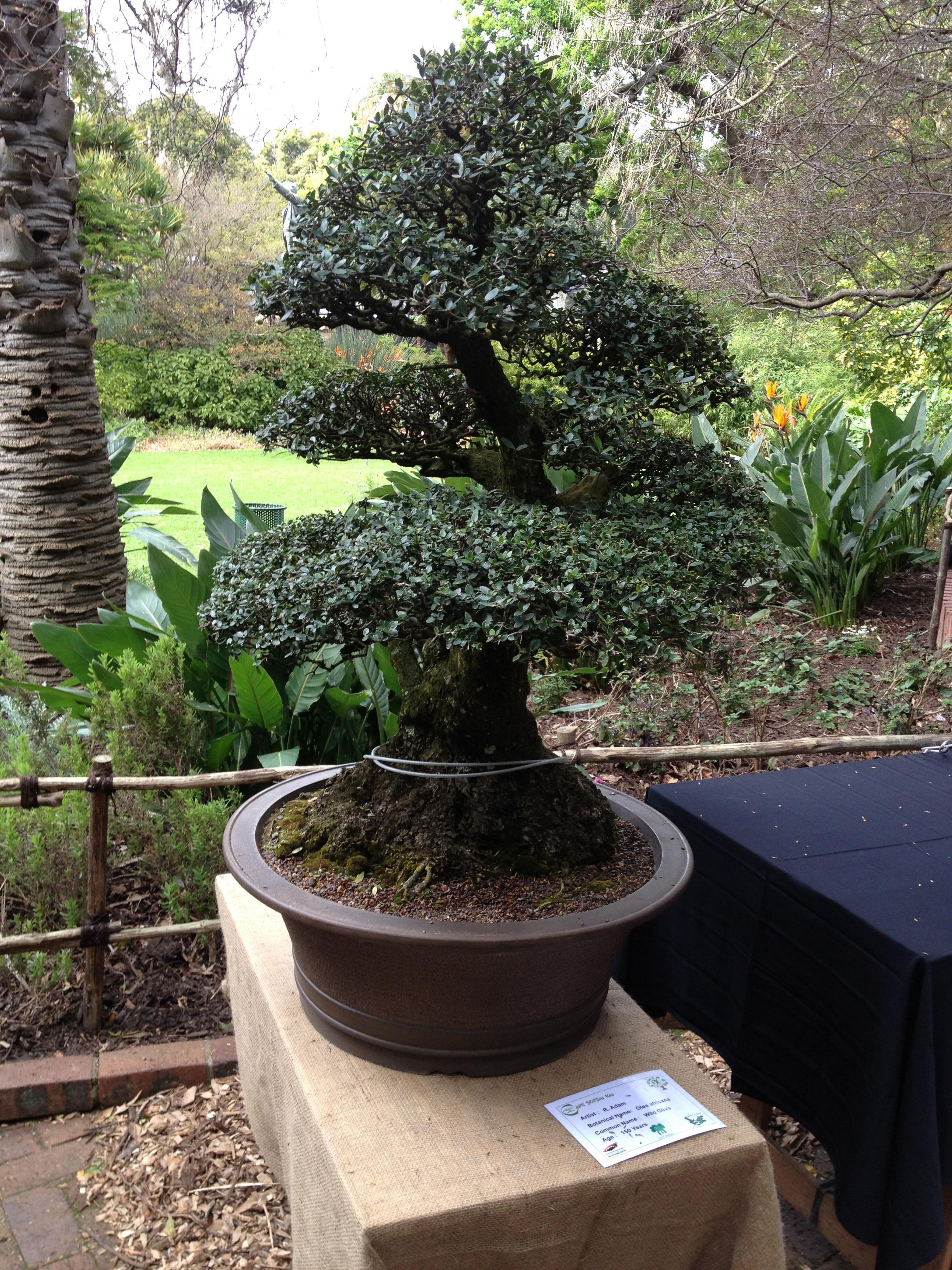 Bonsai Mr Miyagi : bonsai, miyagi, Inspired, Miyagi, Namutebikabalikagwa