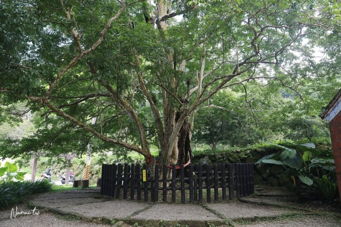 雲林石壁九芎神木。300年老樹齡看見台灣之美