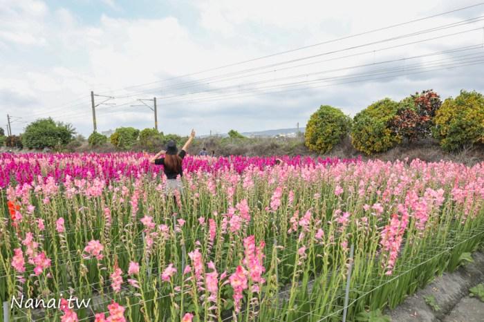 新秘境!彰化社頭雙鐵花田,鐵道旁超美的粉紅劍蘭花海