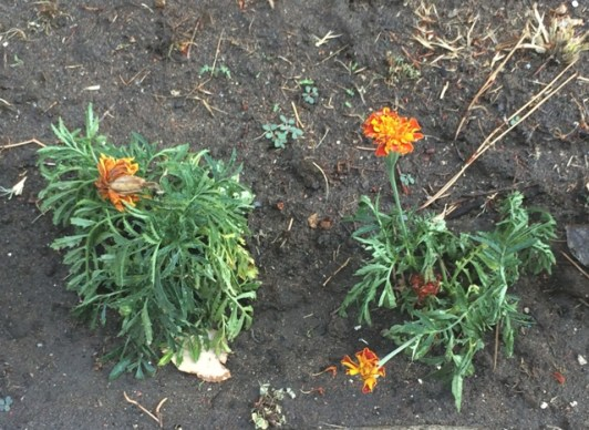 wilted marigolds