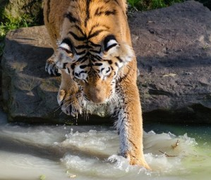 tiger playing in h20