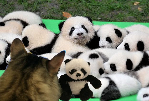panda with babies with foster
