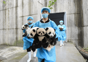 Panda in china with keepers