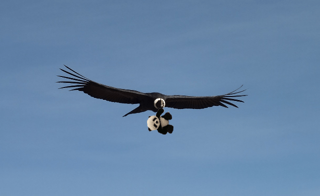 panda flying with condor small