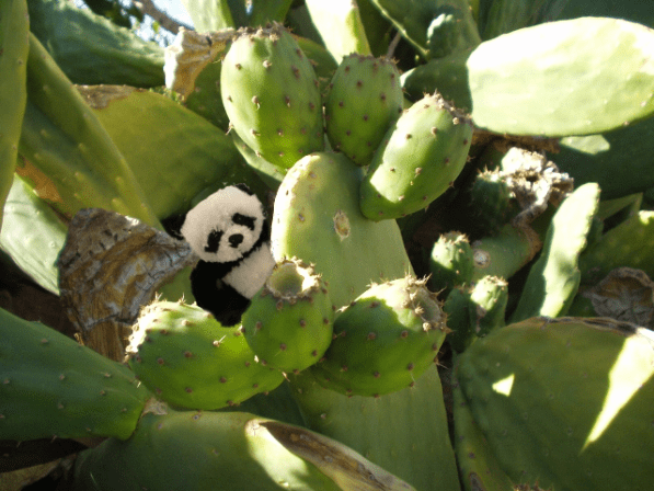 panda in cactus bigger small