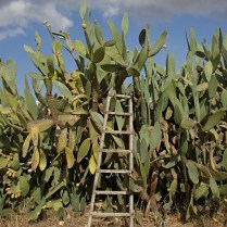cactus with ladder