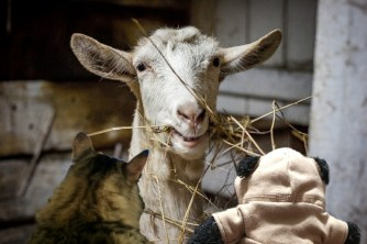 a talking to goat