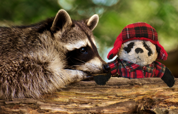 a Panda and raccoon
