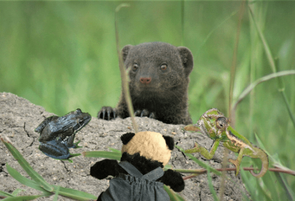 a panda mongoose and friends