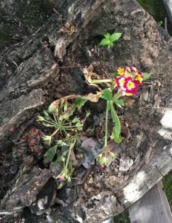 primroses wilted